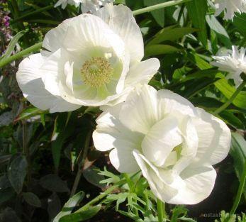 цветок анемон - Поиск в Google