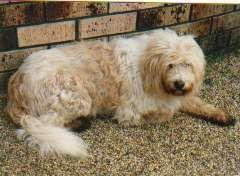 German Sheeppoodle   (Schafpudel)