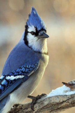 The blue jay is a very pretty bird. If you want them around we have basic information and fun facts that will help you attract them to your backyard.