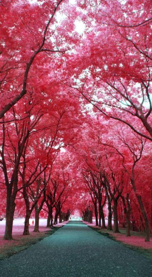 Poner un cerezo rosa y uno blanco en el jardin