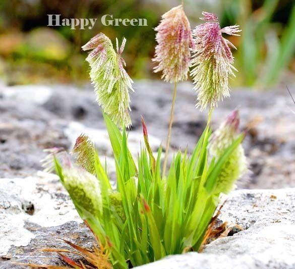 Perennial 300 seeds IRISH MOSS Heath Pearlwort Lawn Sagina subulata