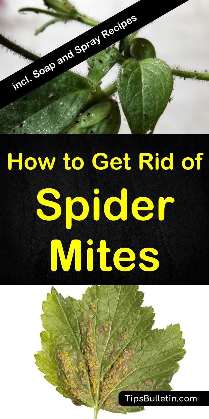 How to get rid of spider mites - including instructions and pictures on how to find an infestation on plants and in your garden. Covers prevention, how to kill spider mites effectively using natural remedies. Includes homemade DIY spray recipes.#spidermites #pestcontrol #houseplants