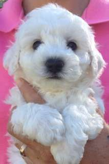 I have one liitle man left and ready to go to his forever loving home. Purebred, Vaccinated, microchipped, vet checked and wormed - https://www.pups4sale.com.au/dog-breed/421/Bichon-Frise.html
