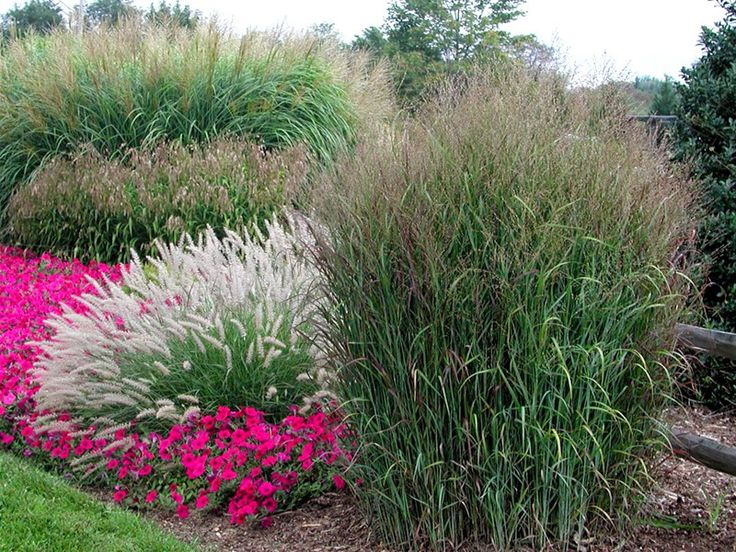 1000 Images About Ornamental Grasses On Pinterest 400 x 300