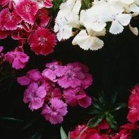 A member of the carnation family, dianthus looks and often smells like a miniature carnation plant. Also known as Sweet William or Pinks, dianthus blooms in a variety of colors, including white, pink, red, rose, lavender and yellow. Varieties range from 6 inches to 3 feet tall, growing in clumps and producing slender, finger-like leaves of bright...