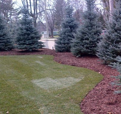 Picea pungens 'Fat Albert' Fat Albert Colorado Blue Spruce from Neil Vanderkruk Holdings Inc.