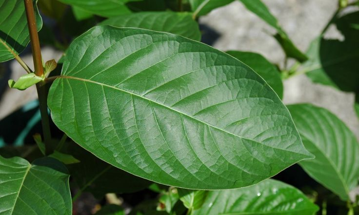 What benefits does Kratom provide?