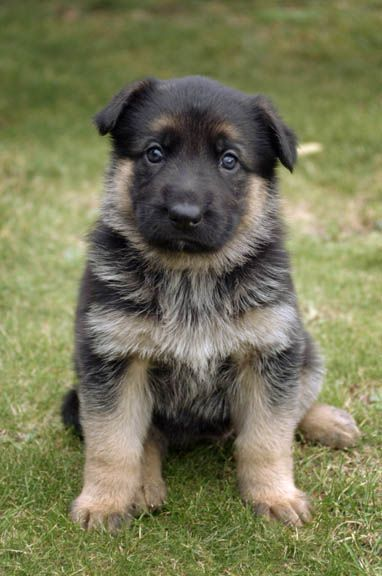 SO CUTE. German Shepherd puppy!