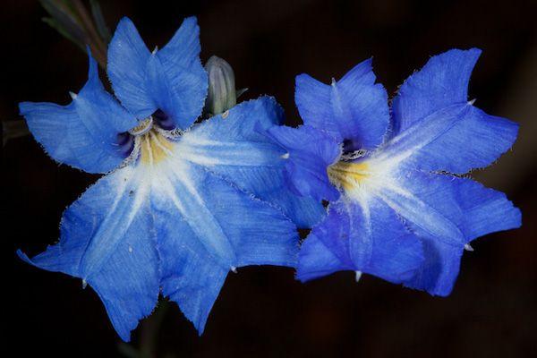 Blue Lechenaultia (Lechenaultia biloba) / Photo by Rob Neave