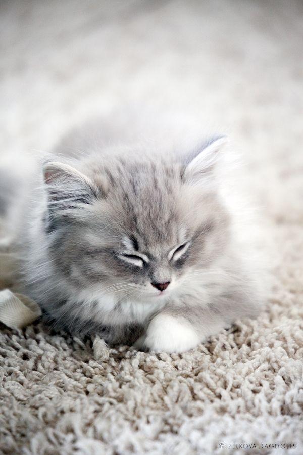 .: Ragdoll Cat, Camo Cat, Kitty Cat, Animal Baby, Ragdoll Kittens, Cat Naps, Baby Animal, Persian Cat, Baby Cat
