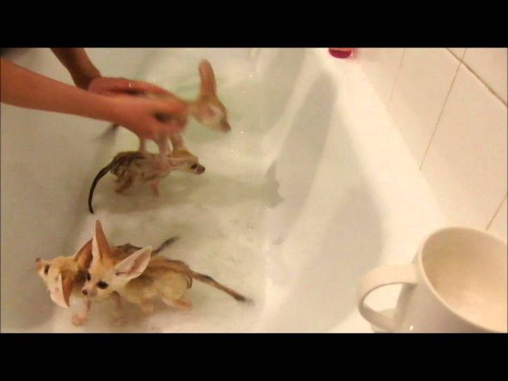 Fennec fox babies take a bubble bath. I love these foxes. I want one.