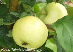 JUNOST      Kesälajike. Suuret omenat. Omenat keltaisia ja vahaisia. Maku makea, heikosti mausteinen ja mehevä
