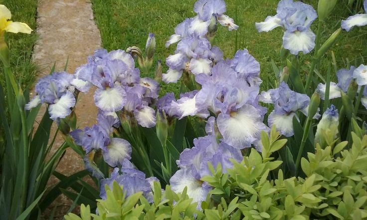 Blue iris in april 2015