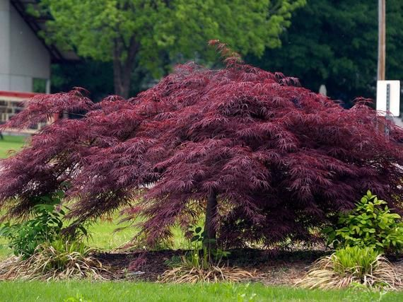 Crimson Queen Weeping Japanese Maple Live Plant Trade