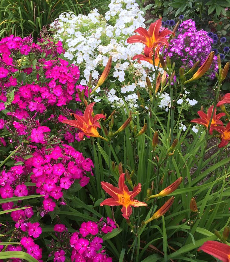 You can extend the bloom time on your Volcano phlox by deadheading them after their first bloom cycle.  Check out this how-to video!