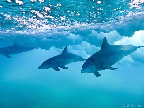 Dolphins of Ponta do Ouro Mozambique.