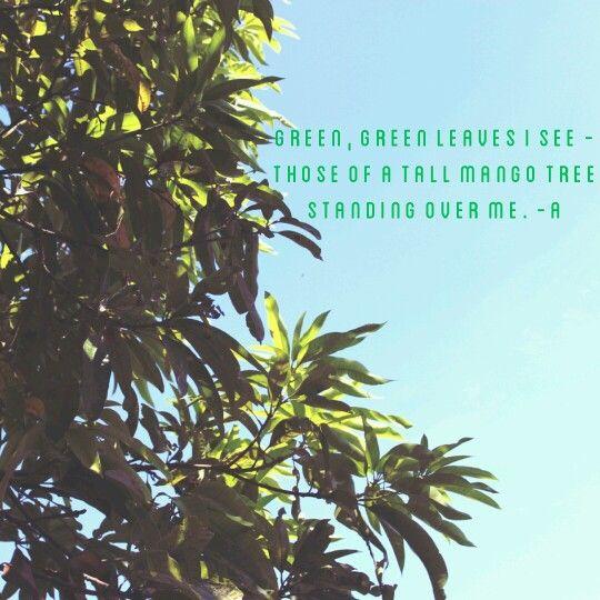 Mango tree leaves.