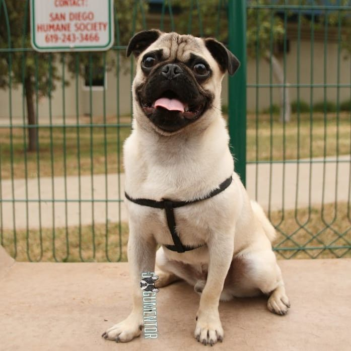 Coco Pug 6 M O Veteran S Dog Park With Images Dog Park Dogs Pugs