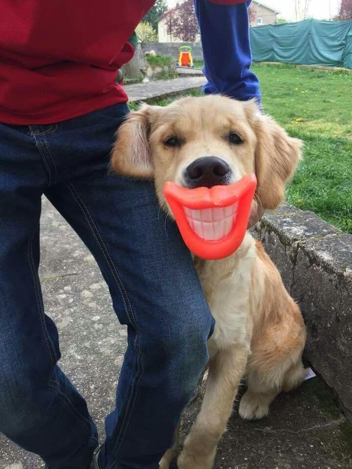 1000 Ideas About Golden Retrievers On Pinterest Retriever Puppies Golden Retriever Labrador