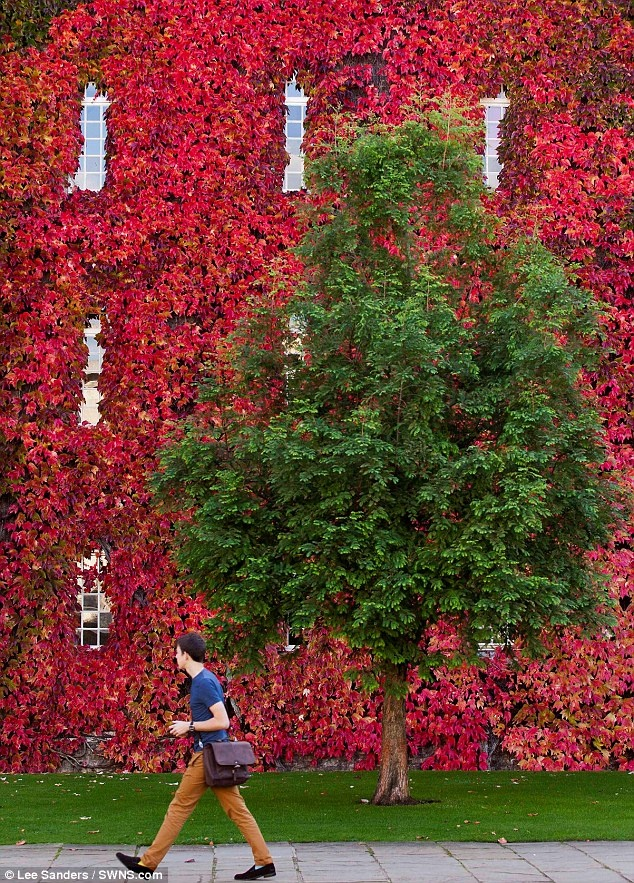 Glorious: Bight scarlet Virginia creeper coats the wall of New Court at Cambridge University's St John's College
