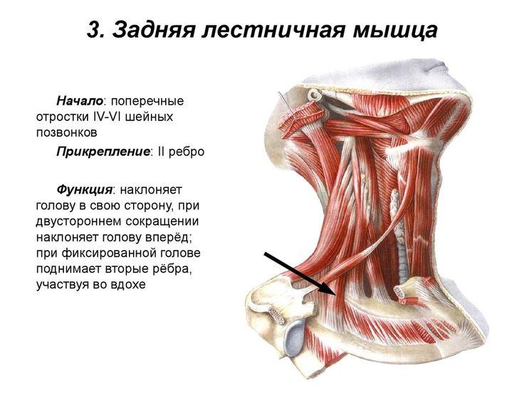 3. Задняя лестничная мышца