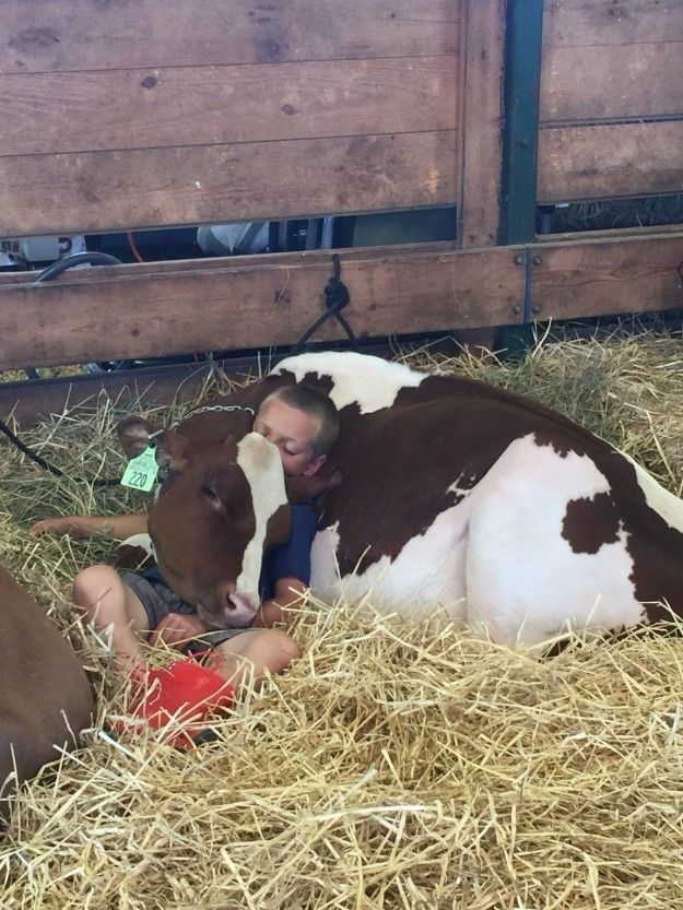 Or napping on YOU. | 21 Reasons Why Cows Are Basically Just Really Big Dogs