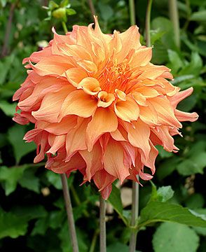 "DAHLIA""Blown Dry"" Height - 5'  Blooms - 9""  Form - Informal Decorative"