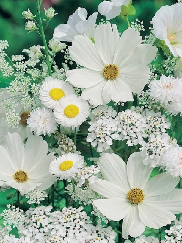 Cosmos, Allyssum, Queen Anne's Lace, Daisy, Scabiosa☽•✧•☆•✧•☾ ღ‿ ❀♥ ~ Sat 16th May 2015 ~ ❤♡༻ ☆༺ h❀ฬ to .•` ✿⊱╮ ♡☽•✧•☆•✧•☾