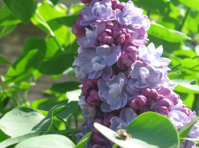 Lilac and a bee