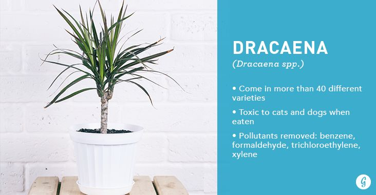 There are more than 40 different kinds of Dracaena plants, making it easy to find one that's a perfect fit for your home or office. They're common foliage plants with long, wide leaves that are often variegated with lines of white, cream, or red. Pet owners might want to select a different plant, however, as these are toxic to cats and dogs.
