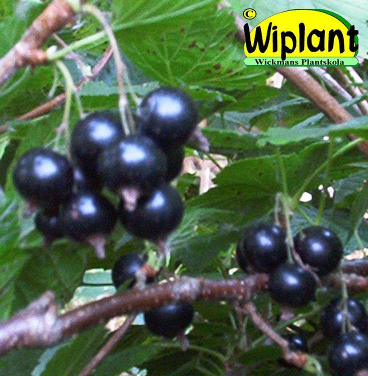 Ribes nigrum 'Titania', svarta vinbär. Svensk sort. Upprättväxande med stor motståndskraft mot gallkvalster. Höjd: 1,5-1,8 m. Titania har mycket mjuk smak och har vunnit många smaktävlingar.