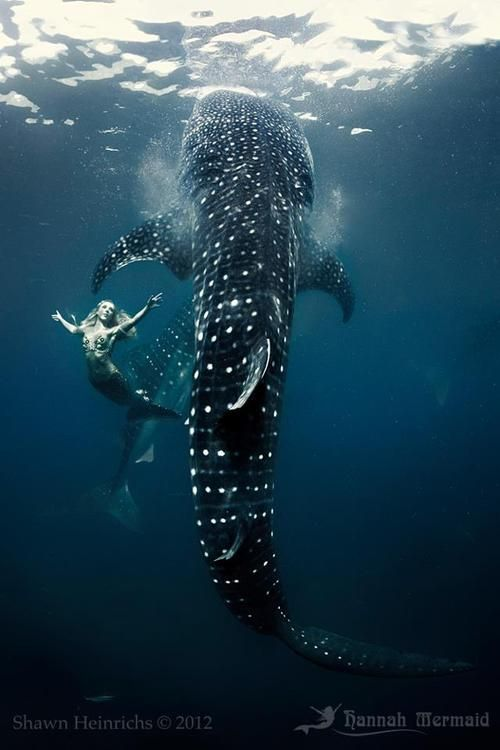 Hannah Mermaid swimming with whale sharks by Shawn Heinrichs.