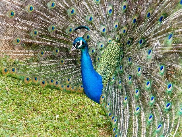 Peacock, Stanley, Northern Tasmania.