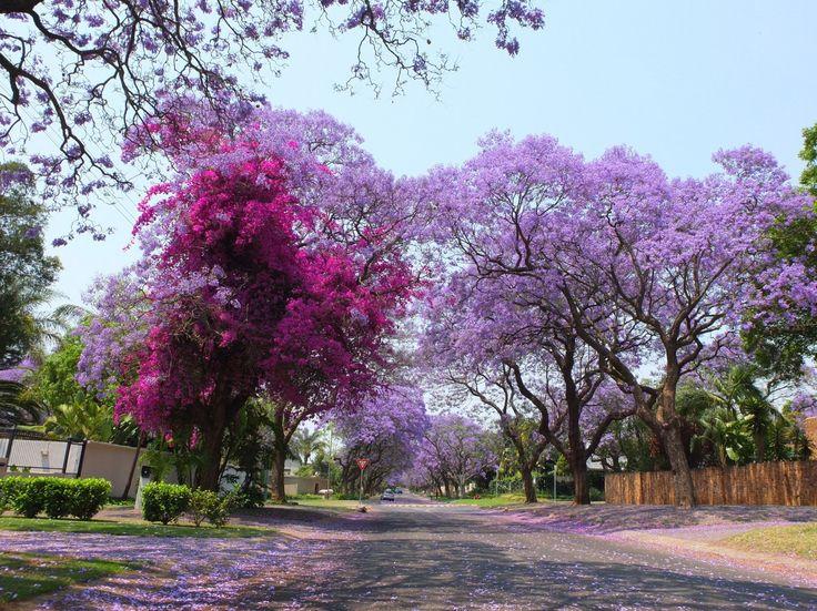 Le printemps sud-africain : un ravissement quotidien pour les yeux ! Jacarandas et bougainvilliers à Pretoria, Gauteng