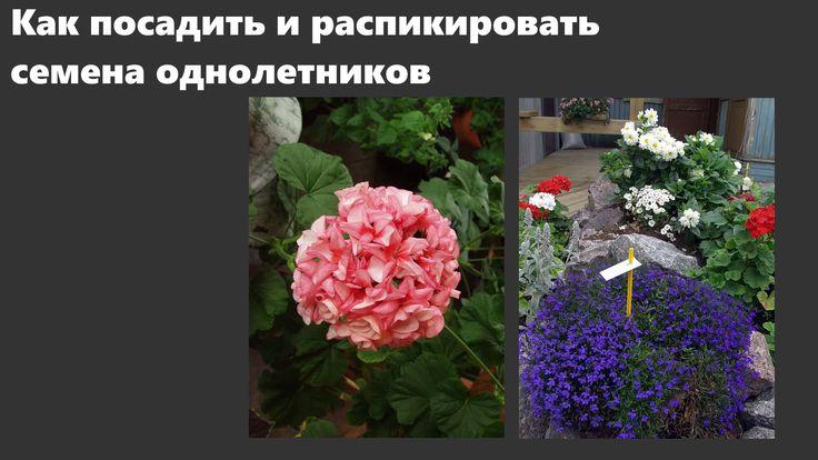 Посадка семян и пикировка лобелии, бальзамина, пеларгонии и других однол...