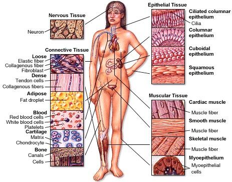 Four types of tissue: -Connective -Epithelial -Muscle -Nerve