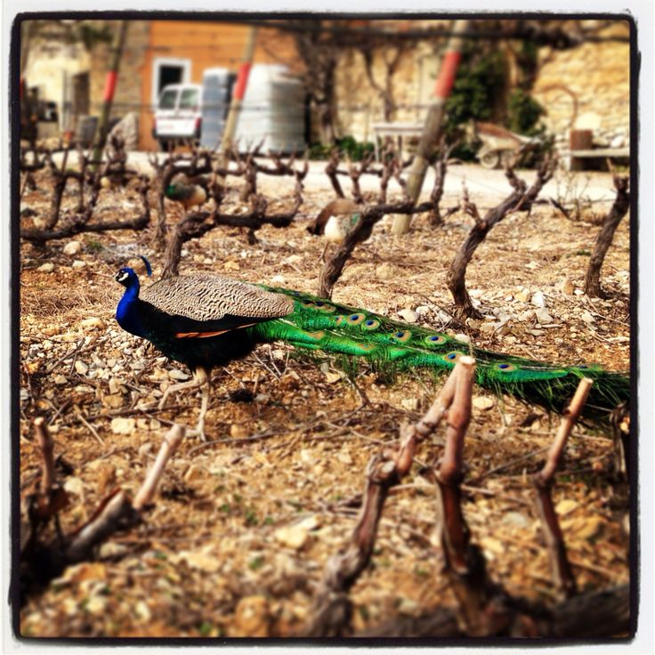 Peacock in the vineyard. Pic saint-loup