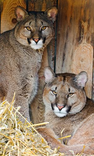 """""""Two Pumas"""" (or Cougars or Mountain Lions) - photo by Tambako the Jaguar, via Flickr;  at the Plättli Zoo, Frauenfeld, Switzerland"""
