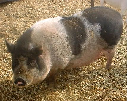 Raising pot bellied pigs for meat thread... | Meat raising ...