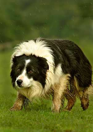 Working Border Collie Sheepdog herding sheep