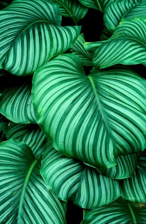 hosta green supreme