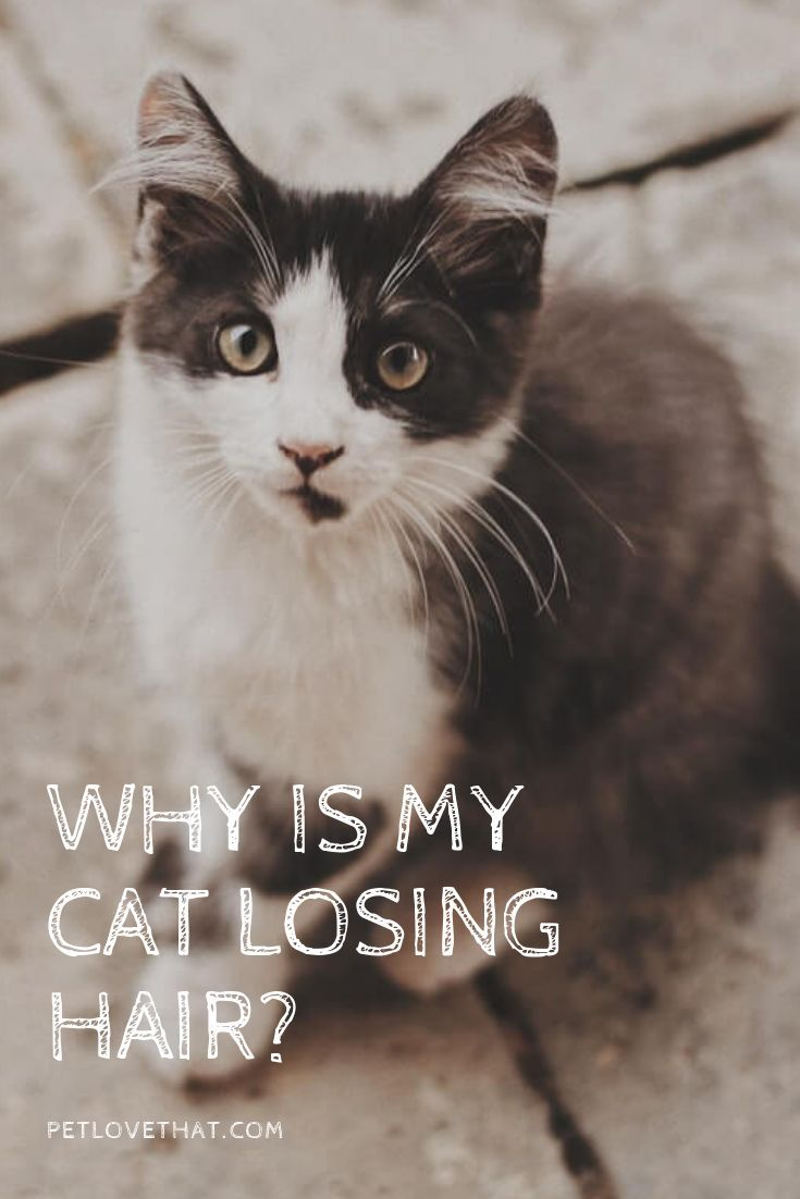 Why Is My Cat Losing Hair 6 Reasons Caused Losing Hair Pet Love That In 2020 Lost Hair Cat Hair Loss Cats