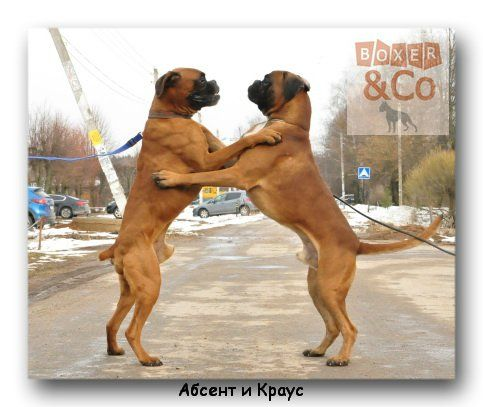 Welcome to Adopt a Boxer Rescue