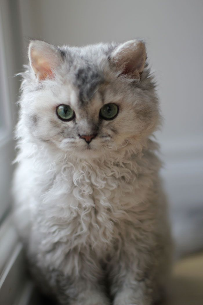 8 Unique Curly Haired Cat Breeds That Suitable For Family S Pet Curly Cat Curly Haired Cat Selkirk Rex