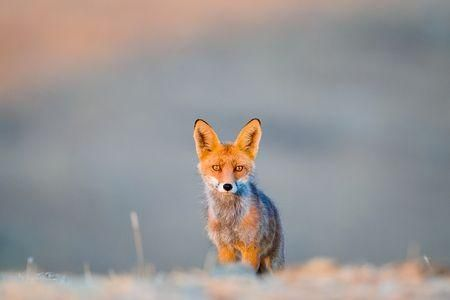 Fox at dawn. Photo by Enrique del Campo — National Geographic Your Shot