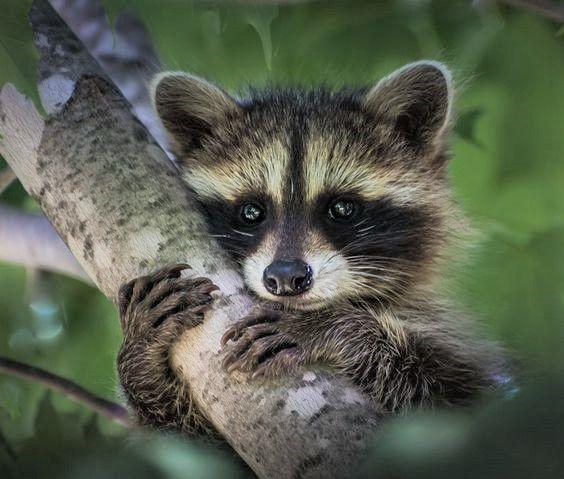 Best 25 Baby Llama Ideas On Pinterest: Best 25+ Baby Raccoon Ideas On Pinterest
