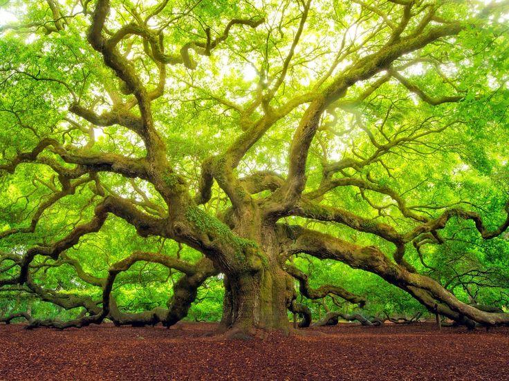 ***Angel Oak, John's Island, Charleston, SC