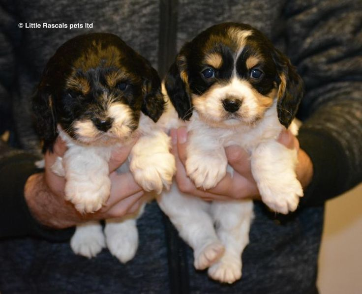 Cavapoo Puppies - Designer and Cross Breed Puppies For Sale