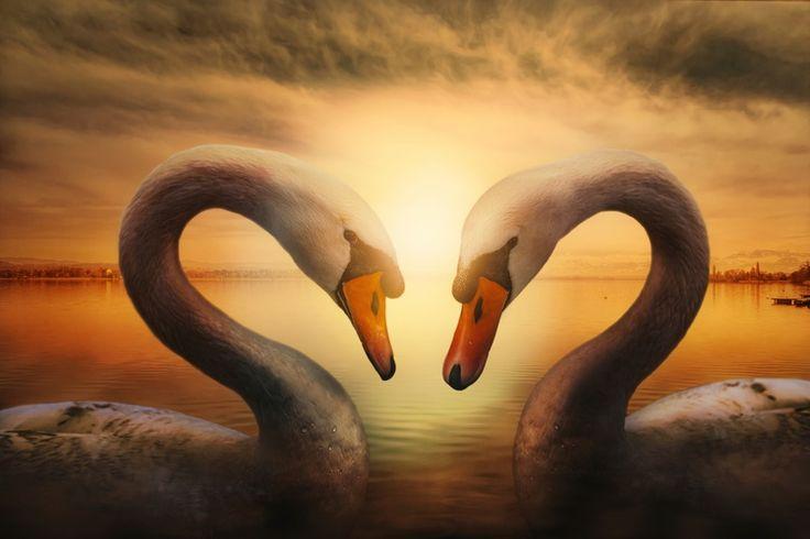 lebede, lac, cuplu, dragoste, tratament