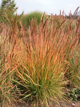Sorghastrum nutans yellow indian grass long island for Full sun ornamental grass